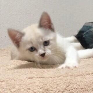 シャムミックス・ラグドール系の3ヶ月の可愛い子猫ちゃん