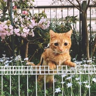 東京付近猫(マンチカン)里親募集 応募多数のため、受付は一旦中止...