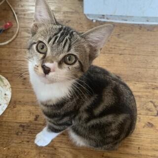 アメショウ柄の子猫
