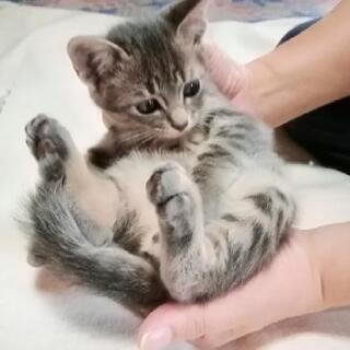 仔猫の里親募集です。可愛さ抜群です。 - 長崎市