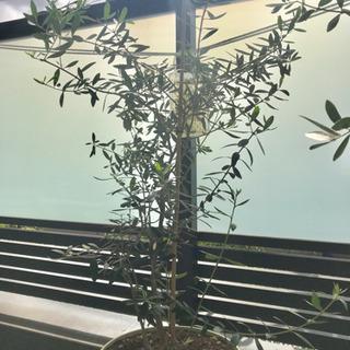 【オリーブの木】観葉植物 約110cm