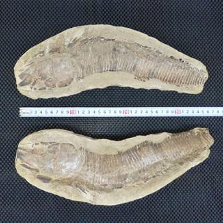 化石 魚 魚類 海洋生物 標本 オブジェ コレクション インテリ...