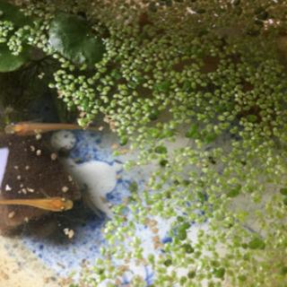 メダカ2匹➕水草2種類 ➕貝2つ