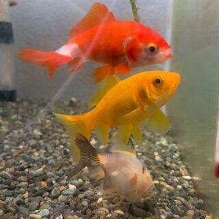 金魚(和金)3匹 お譲りします