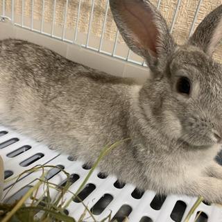 ミニウサギ (グレー系)