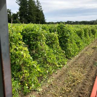募集中❗️白花豆の収穫作業  短期可 日給10000円