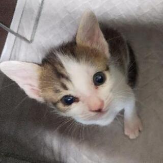 保護したキジシロ(仮名:アン君)子猫♂の新しい家族を募集し…
