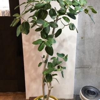 観葉植物 ゴムの木
