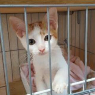 可愛い茶白(仮名:ちゃお君)子猫(7月中旬頃産のオス)の新…