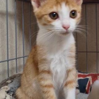 茶シロ子猫(仮名:ちゃび)♀の新しい家族募集中 - 伊予郡