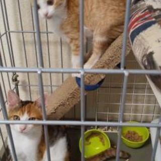 保護した三毛猫(仮名:みー)♀子猫の新しい家族募集中 - 里親募集