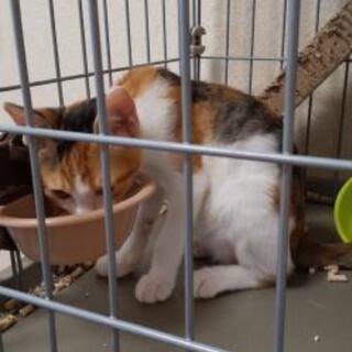 保護した三毛猫(仮名:みー)♀子猫の新しい家族募集中 - 猫