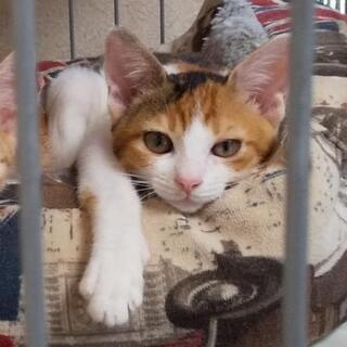 保護した三毛猫(仮名:みー)♀子猫の新しい家族募集中 - 伊予郡