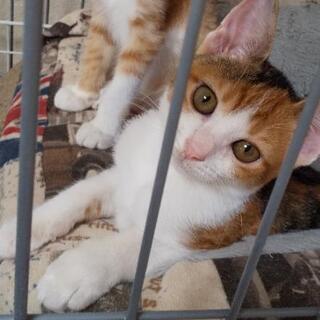保護した三毛猫(仮名:みー)♀子猫の新しい家族募集中 − 愛媛県
