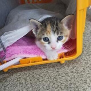 【現在トライアル中!】保護した三毛猫♀の新しい家族募集中
