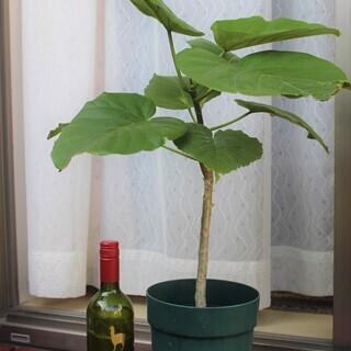 観葉植物その4  ウンベラータ