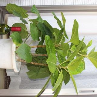 観葉植物その3 ウンベラータ&フィカス アルテシマ