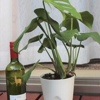 観葉植物その2 モンステラ