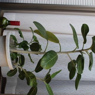 観葉植物その5 フィカス ベンガレンシス