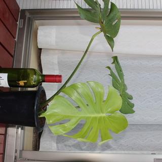 観葉植物その6 モンステラ