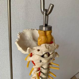 脊椎 骨盤 人体模型