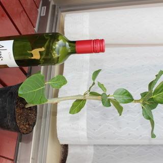 観葉植物その8 フィカス ベンガレンシス