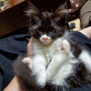 生後2ヶ月の白黒5匹 人懐っこい子達です - 猫