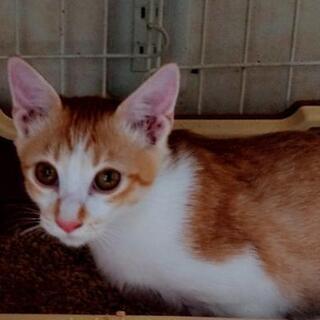 【白血病陽性】生後約5ヶ月前後の子猫♂の 新しい家族募集中