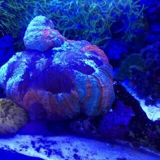 【サンゴ】 オオバナサンゴ
