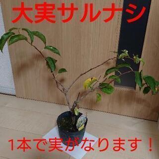 値下げ【植物】大実サルナシ、ベビーキウイ