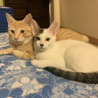 パステル茶トラとシロサバの子猫