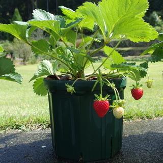 イチゴ 四季なり 7号鉢