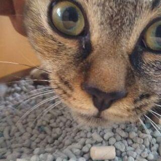 里親決定 しまなみ サビトラ メス 避妊済 子猫の画像