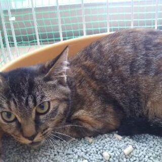 里親決定 しまなみ サビトラ メス 避妊済 子猫 - 猫