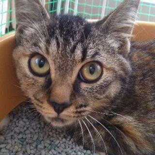 里親決定 しまなみ サビトラ メス 避妊済 子猫 − 広島県