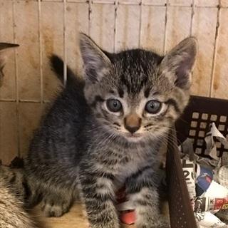 生後2ヶ月★可愛いキジトラの仔猫ちゃん♡