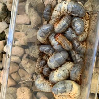 国産カブトムシの幼虫