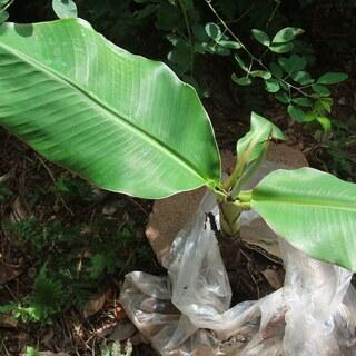 バナナの木 自然栽培 無農薬 島バナナと普通のバナナの掛け合わせ種