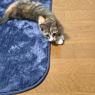 子猫(1.5ヶ月)の里親募集です