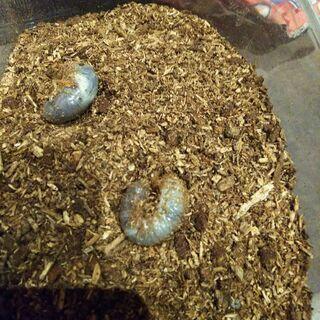 【お話中】 カブトムシの幼虫