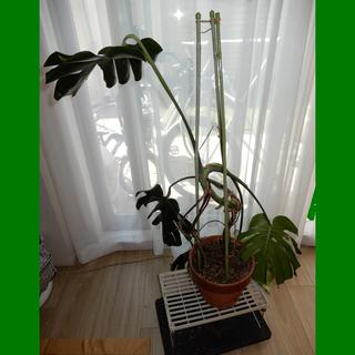 観葉植物 モンステラ 大きい 高さ1m10cm グリーン