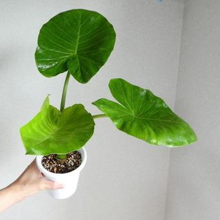 クワズイモ 43cm プラ鉢(アロカシア・オドラ)
