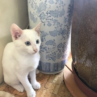 3ヶ月の鍵シッポ・ブルーアイの仔猫ちゃん(猫エイズ陰性)
