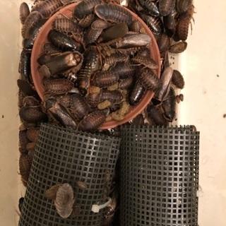 デュビア 成虫♂♀ 幼虫 約300匹