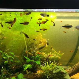 熱帯魚 グッピー プラティ