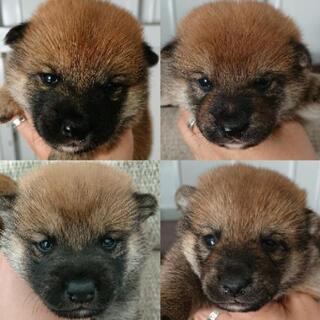9月30日生まれの豆柴タイプの柴犬