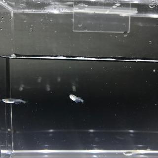 みゆきメダカの稚魚 9月生まれ