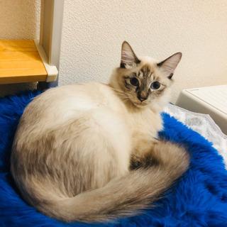 ラグドールっぽい母猫リーフ1歳