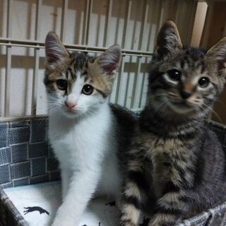 毎年恒例☀️獣医大学で猫の譲渡会開催❤️キジシロキジトラの兄弟 ...