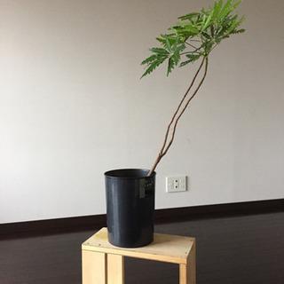 植物(ジャガランタ)
